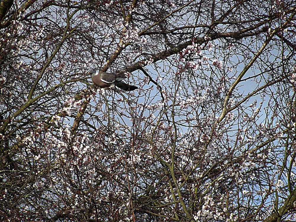 Photo in Random #pigeon #bird #nature #tree #blossom