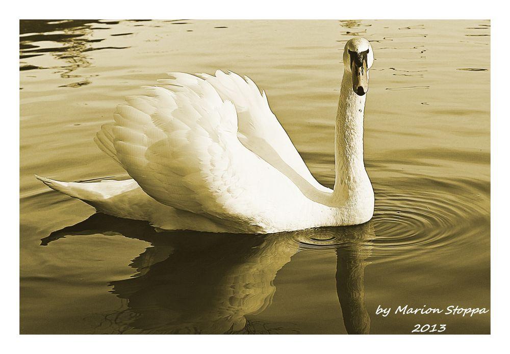 Photo in Animal #animals #swan