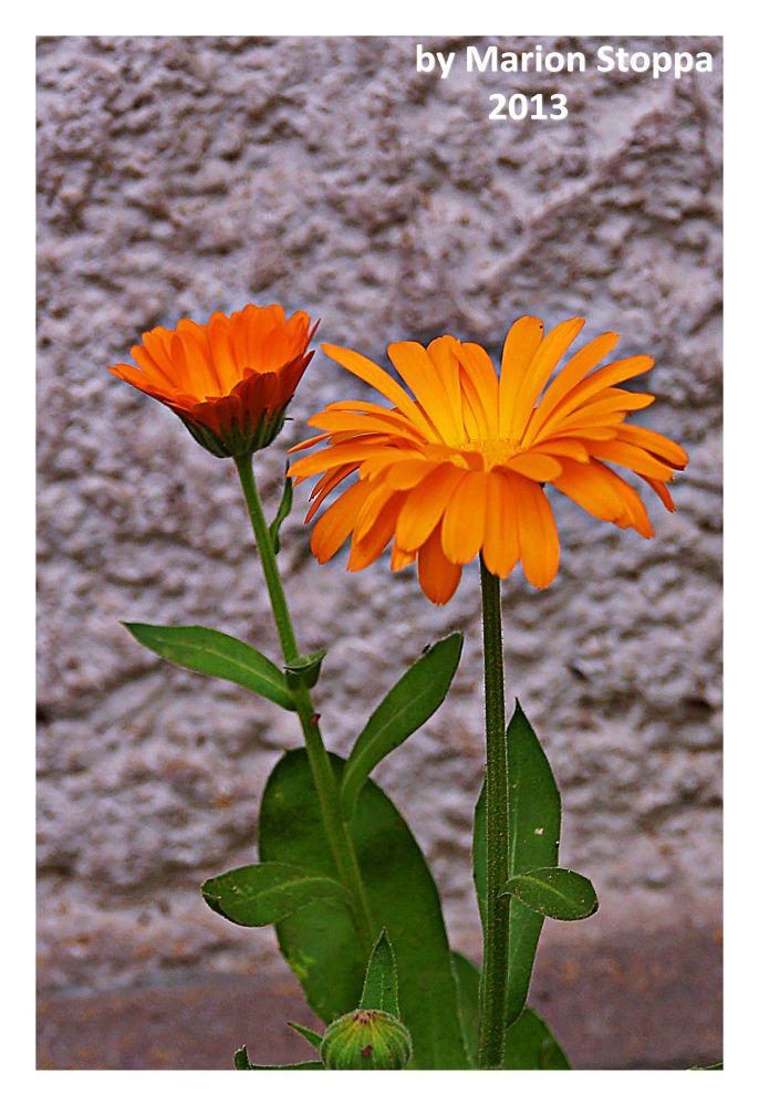Photo in Nature #flowers #nature #orange