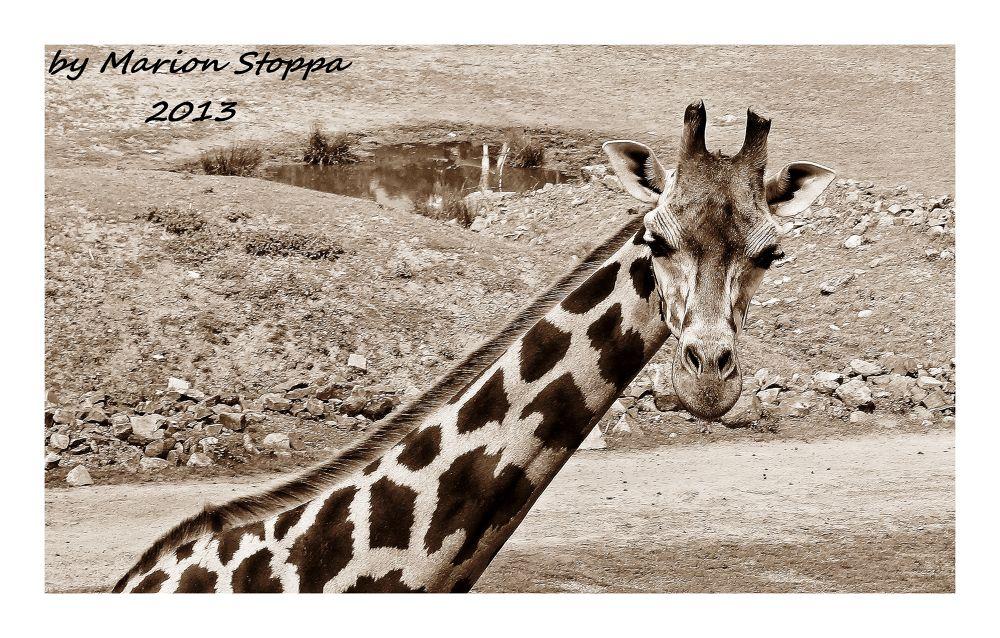 Photo in Animal #animal #wildlife #giraffe #sepia
