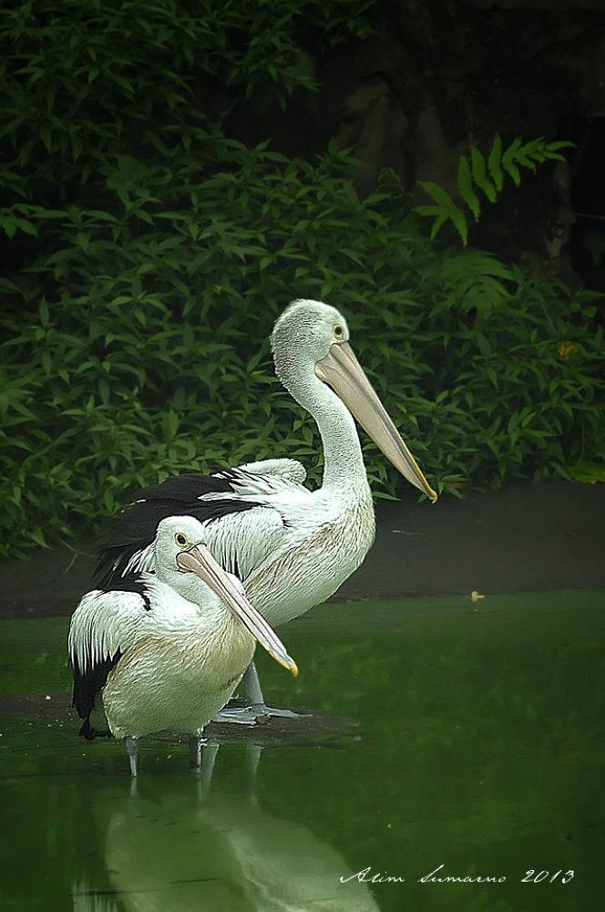Photo in Animal #pelicans