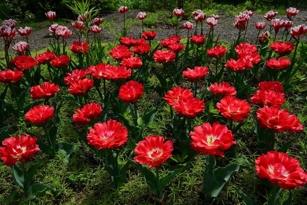 Photo in Nature #botanical garden #spring flowering #scarlet flowers #blossom #tulips #leaf #grass #plant #nature #green #bright colors #russia #nikon #ботанический сад #весеннее цветение #алые цветы #цветок #тюльпаны #листва #трава #растение #природа #зелень #яркие краски #россия