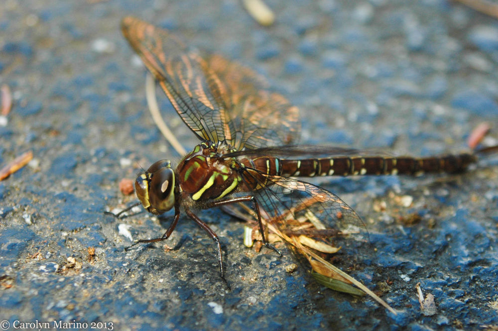 Photo in Nature #insect #nature #dragonfly #macro #closeup