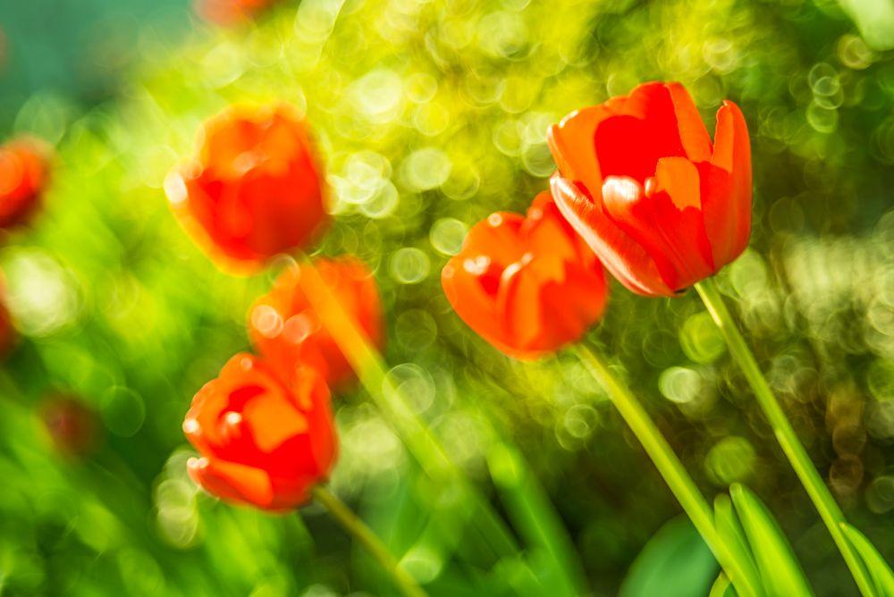 Photo in Nature #tulips #sunshine #macro #flowers #spring #nature #red #green