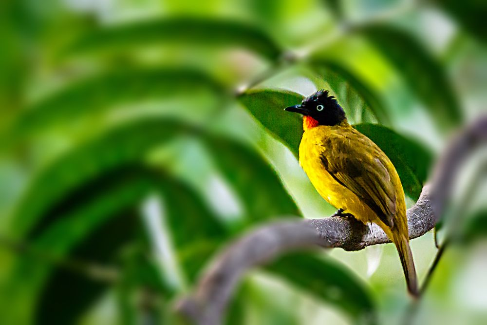Photo in Nature #flame throated bulbul #birds #tamron 150-600
