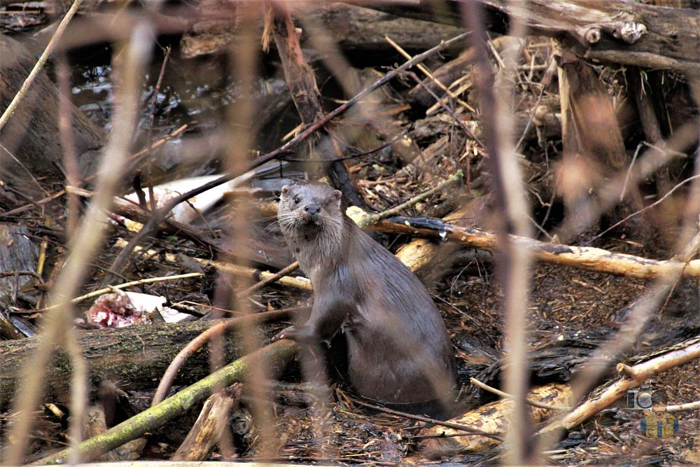 Photo in Nature #wildlife #nature #otter #river #winter #driftwood #fish #sony #sigma lens