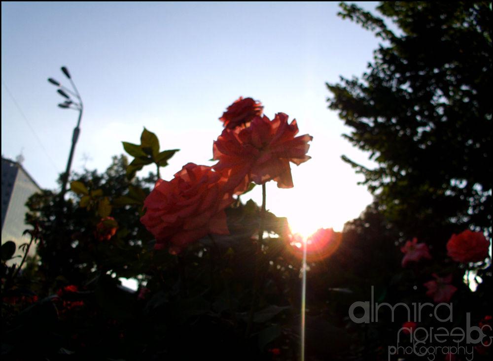 Photo in Nature #roses #sun #summer #garden