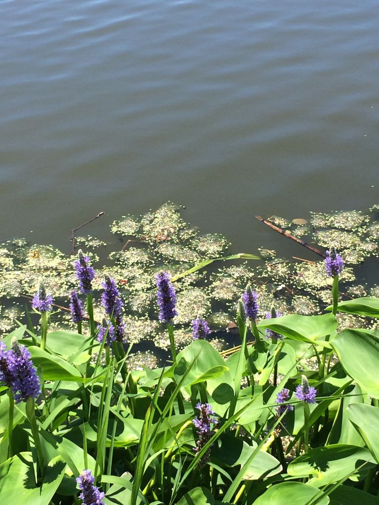 Photo in Nature #lake #flowers #water #purpleflowers #sunlight