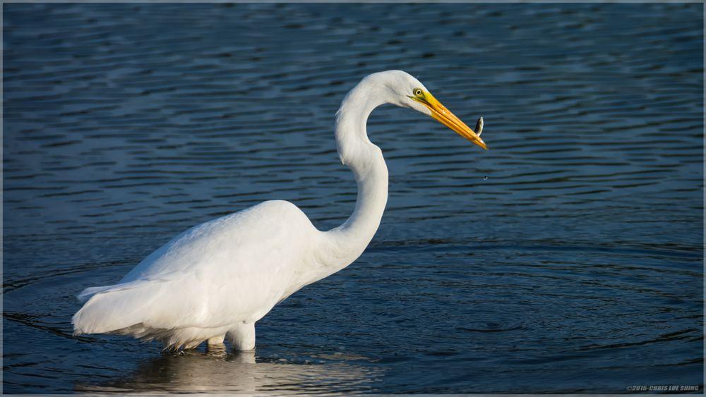 Photo in Animal #bird #nature #animal #egret #greategret #fish #food #nikond7100 #tamron150-600 #great egret #great #nikon d7100 #tamron 150-600