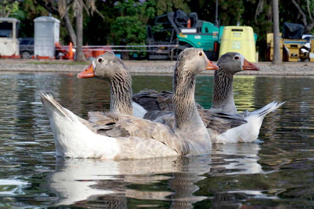 Photo in Animal #lago #ganzo #argentina