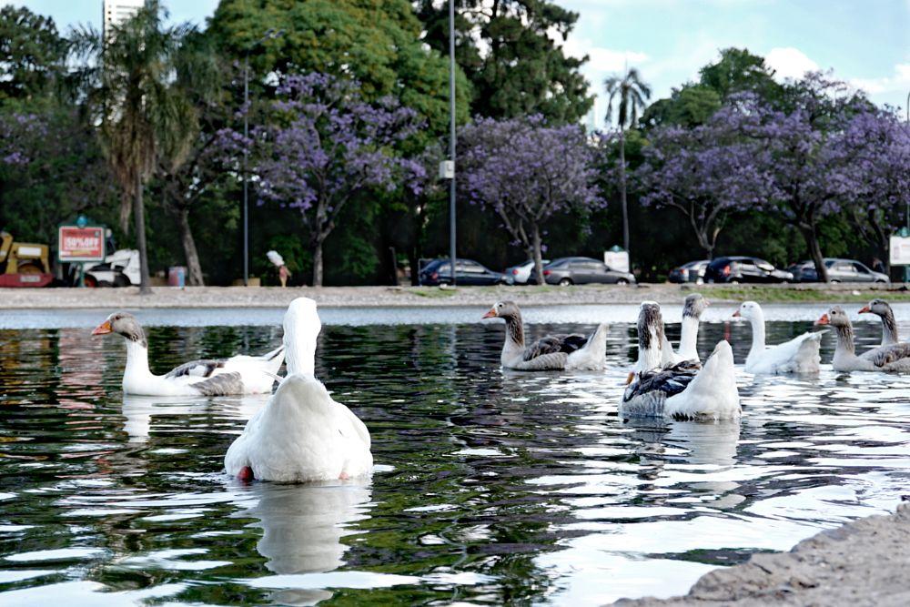 Photo in Nature #ganzos #lago #argentina