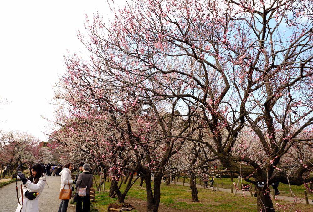 Photo in Nature #plum #blossom #pink #people #path #mito #kairakuen