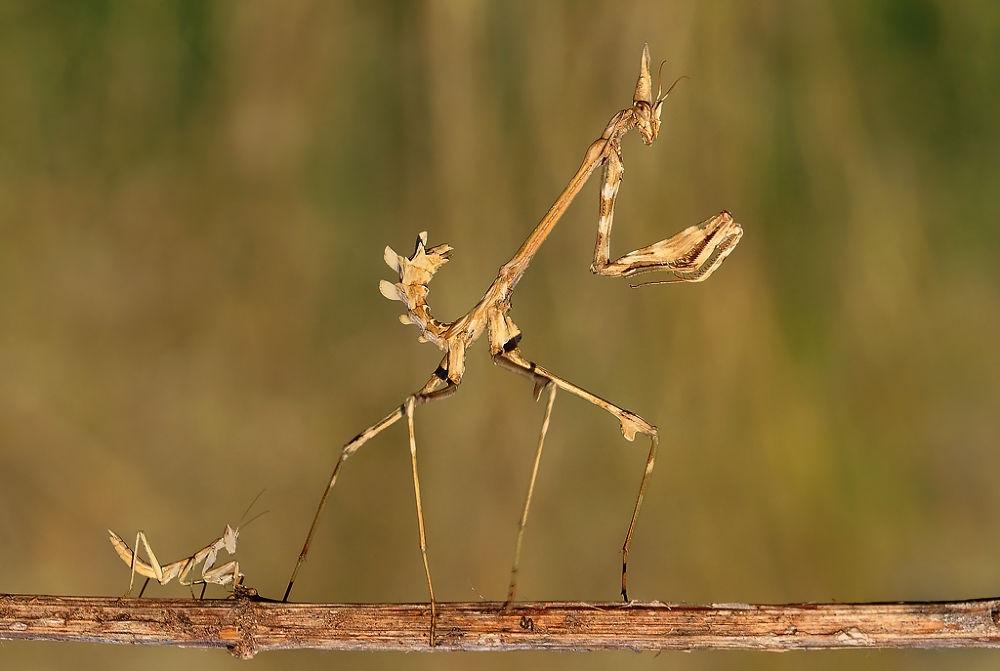 Photo in Macro #insect #animal #macro #mantis