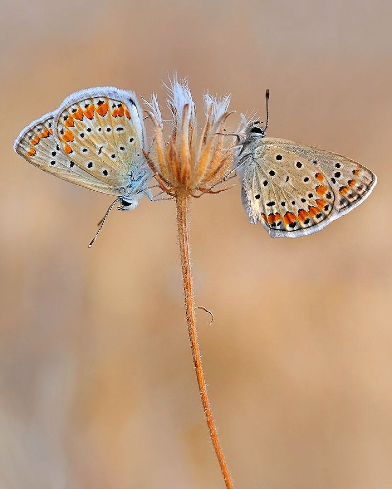 Photo in Macro #macro #insect #animal #nature #butterfly