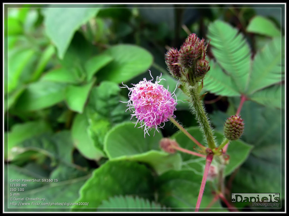 Photo in Nature #লজ্জাবতী ফুল #urban flower #flower #bangladesh