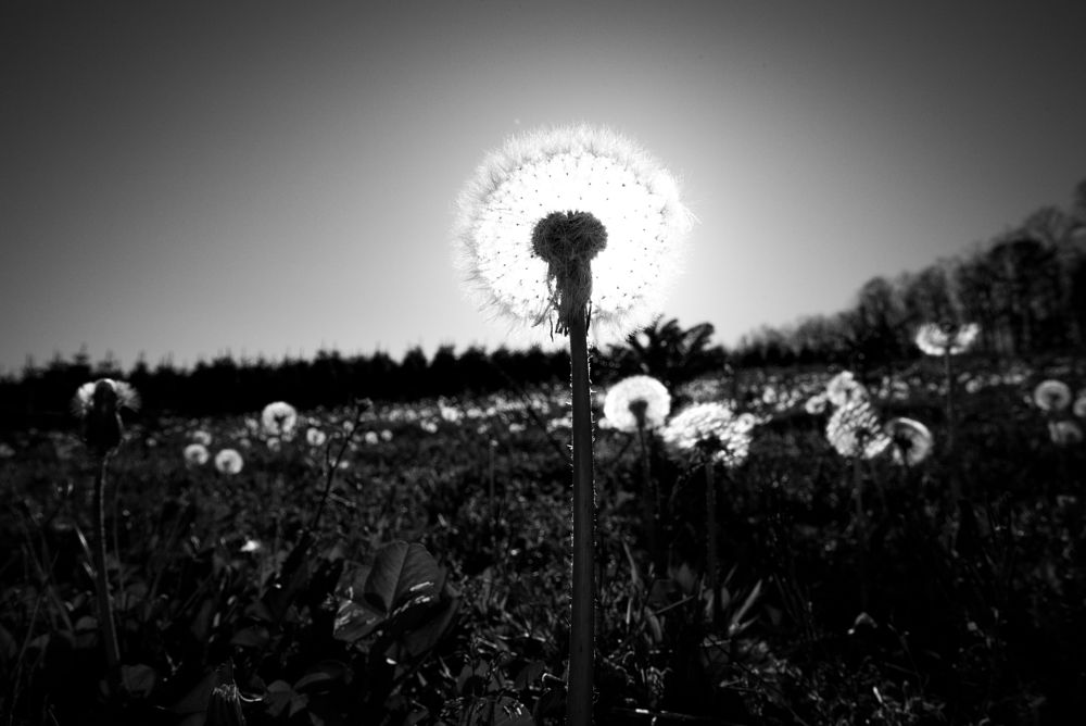 Photo in Nature #field #dandelion #spring #blackandwhite #mountains