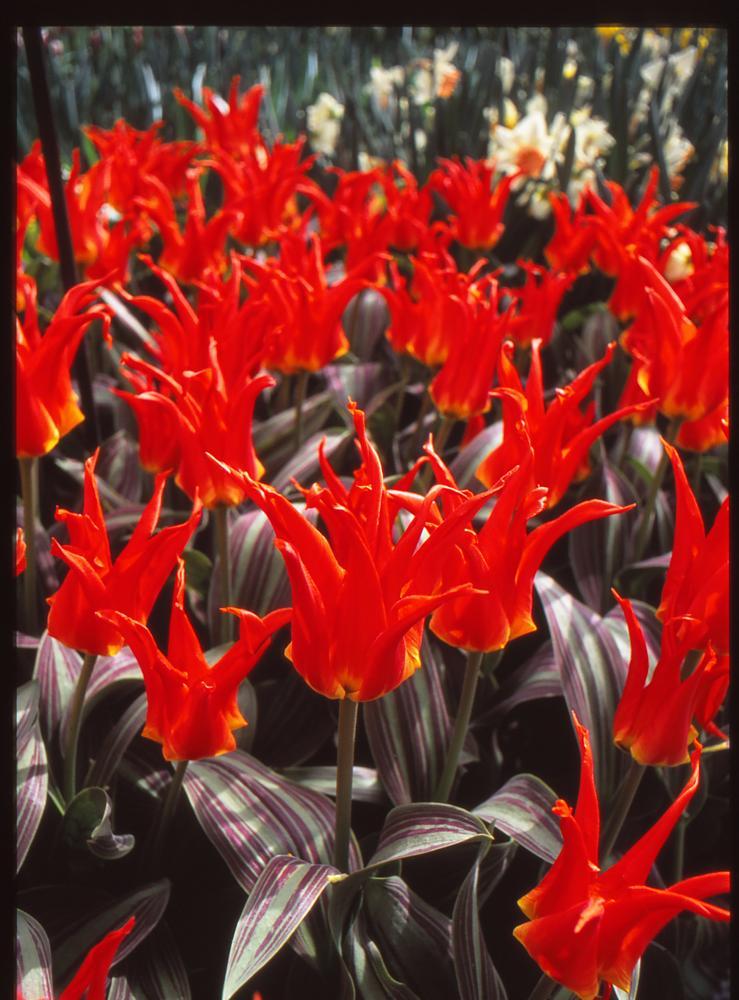 Photo in Nature #agfa #ct #precisa #100 #red #tulip #slide #dia #film #analog #analogue