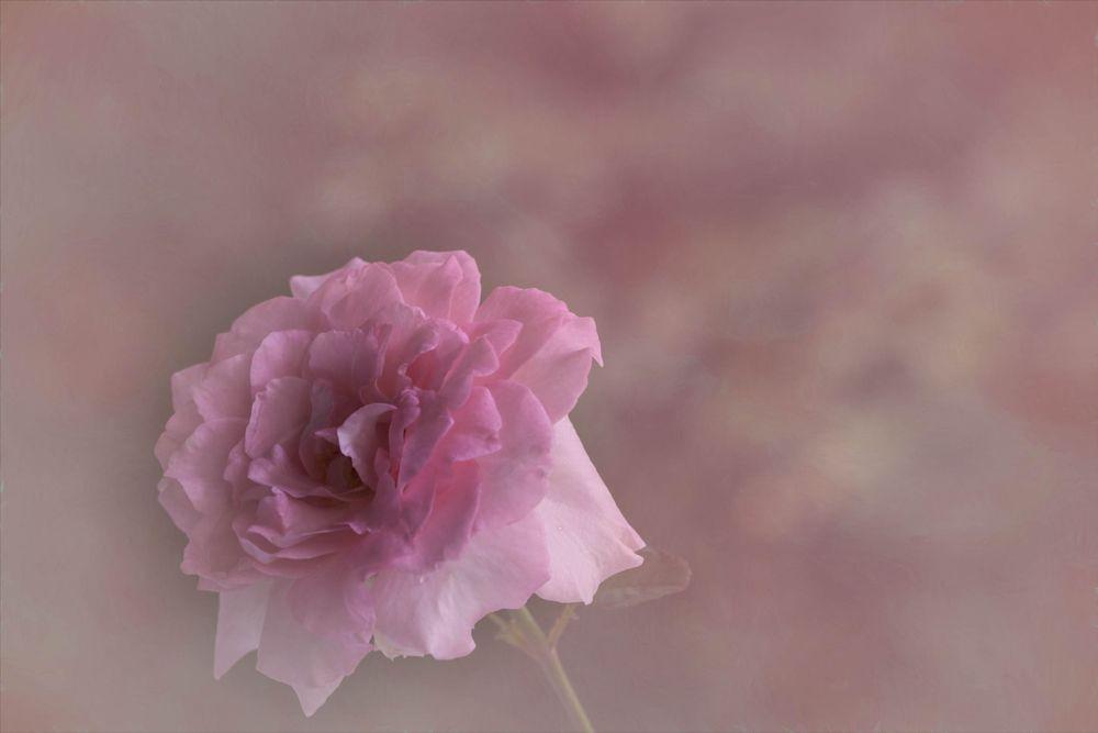 Photo in Nature #rose #flowerfuji