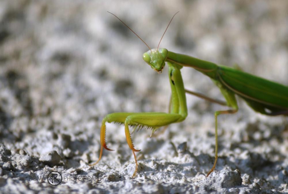 Photo in Macro #mantis #insect #animal #animals #fauna #close up #macro