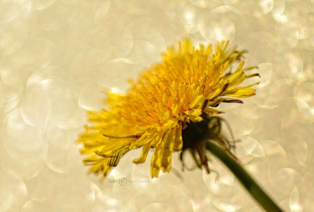 Photo in Macro #flora #nature #close up #macro #flover #bokeh