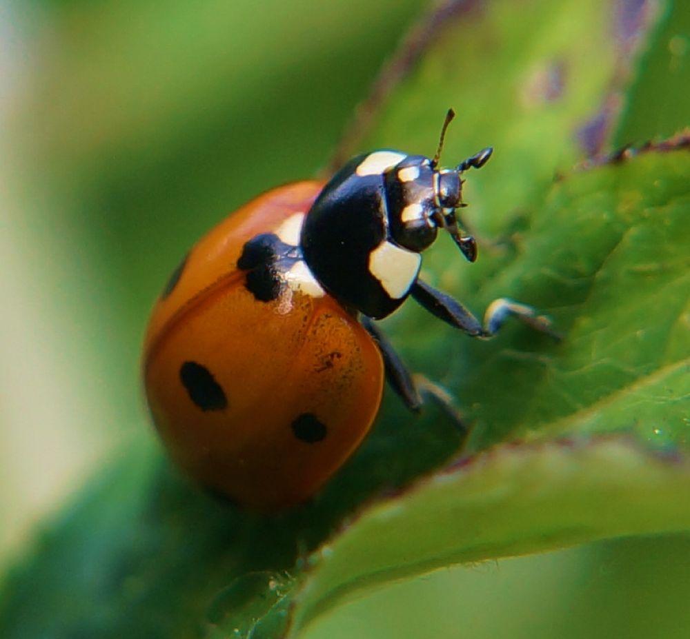 Photo in Macro #macro #ladybug #ladybird #insect #red #spots