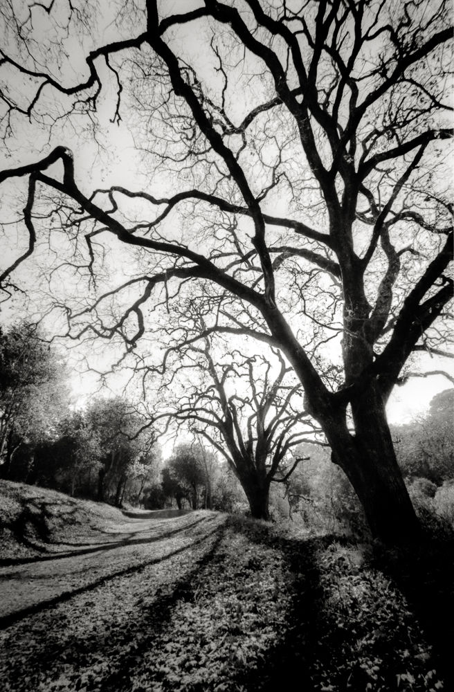 Photo in Landscape #black and white #film photography #landscape #fomapan 200 #35mm film #silhouette #trees #path #trail #portola valley #spring ridge trail #windy hill #winter #wide angle #cold #gnarled #branches #hc-110 #canon a-1 #stand development