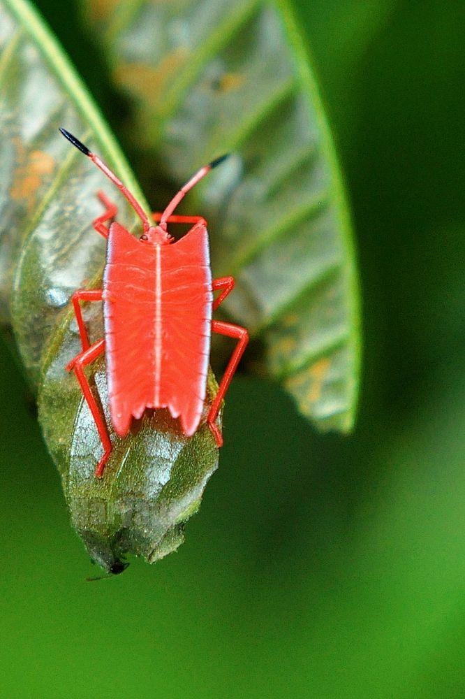 Photo in Random #red bug #serangga merah #prevab #kutai national park #east borneo #east kalimantan #macro #red insect