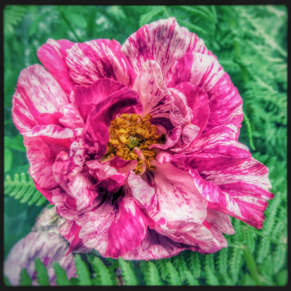 Photo in Nature #flower #bloom #pink #summer #colours #colors #garden