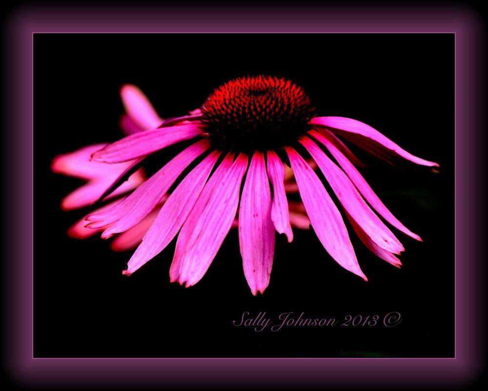 Photo in Nature #flower  pink garden nikon