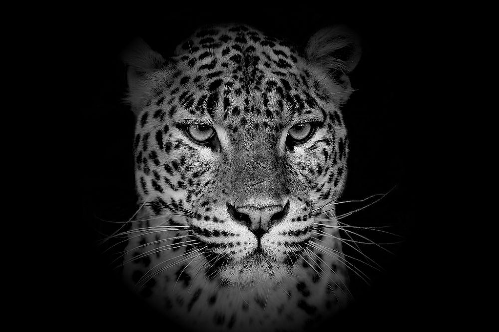 Photo in Animal #leopard #portrait #animal #nature #wise