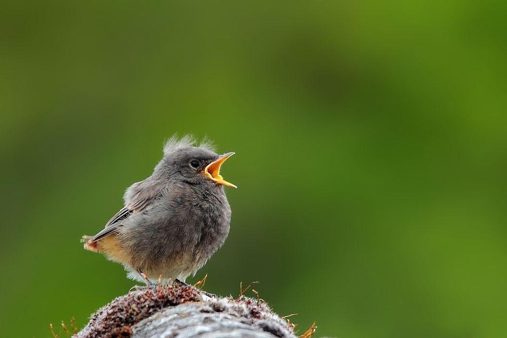 Photo in Animal #animal #nature #bird #redstart #juvenile #wise