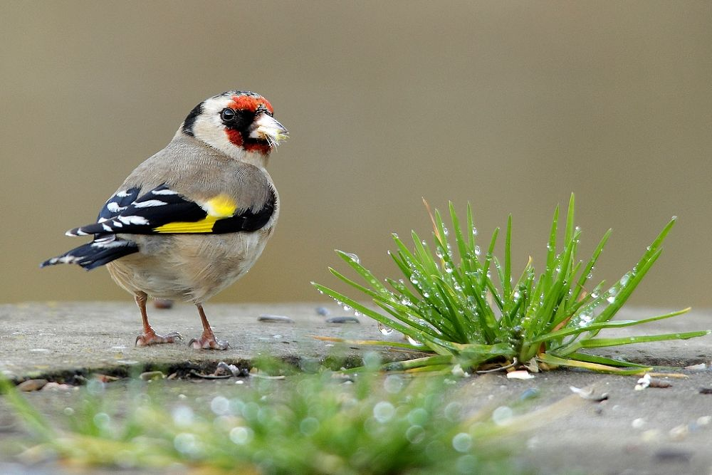 Photo in Animal #animal #nature #bird #goldfinch #wise #grass #droplet