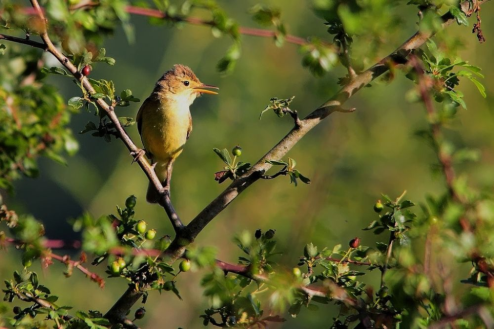 Photo in Animal #animal #nature #bird #melodius warbler #wise