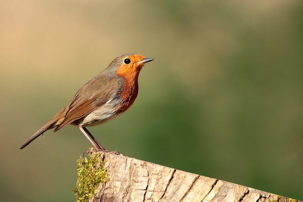 Photo in Animal #animal #nature #bird #robin #wise #wood
