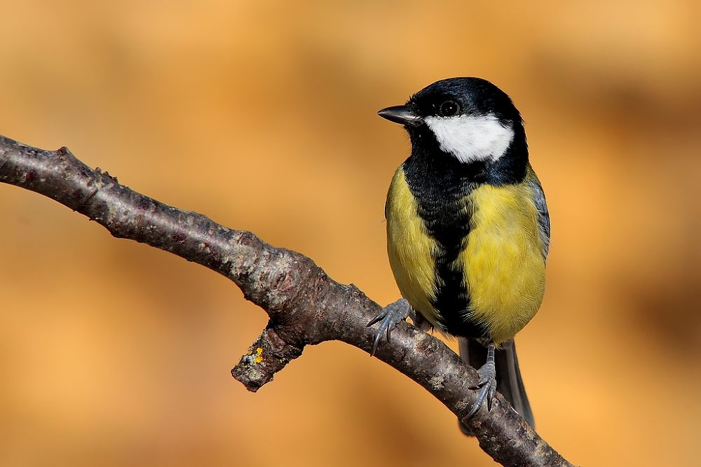 Photo in Animal #animal #nature #bird #great tit #wise