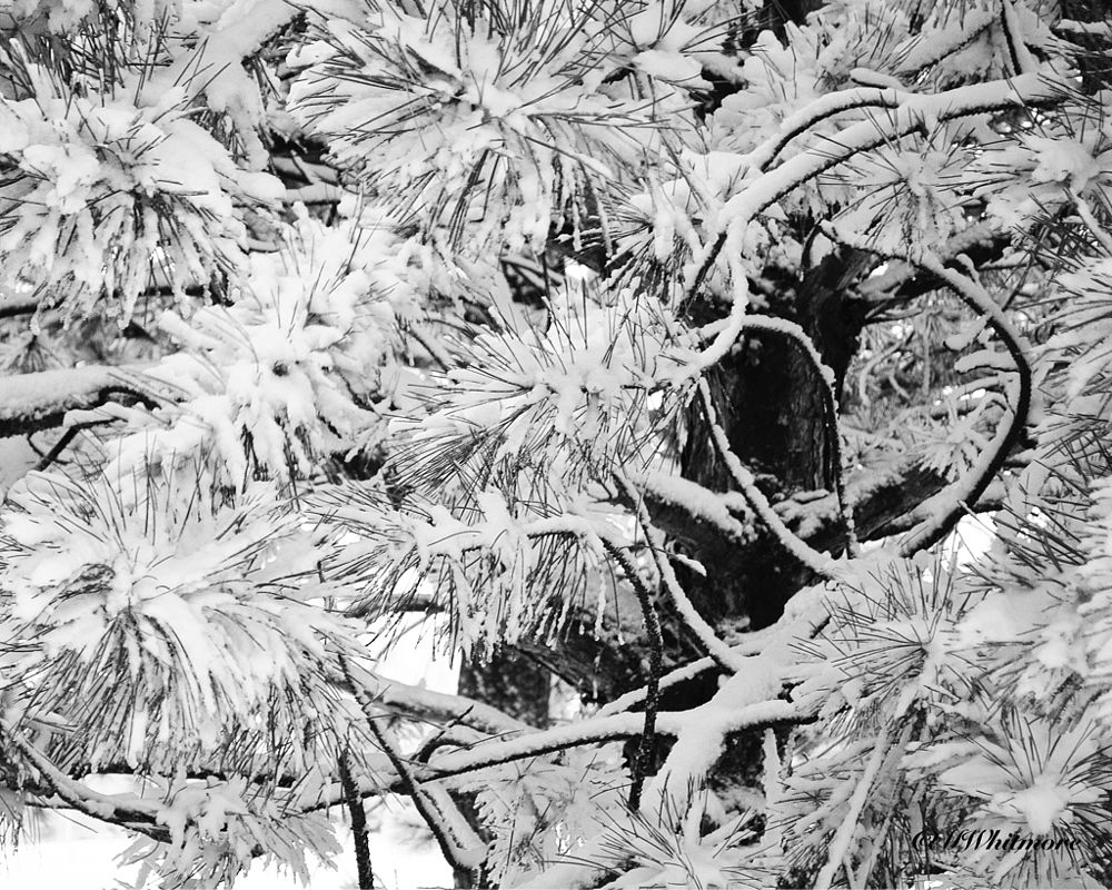 Photo in Black and White #idahowinter #idaho #winter #austrianpinetree #tree