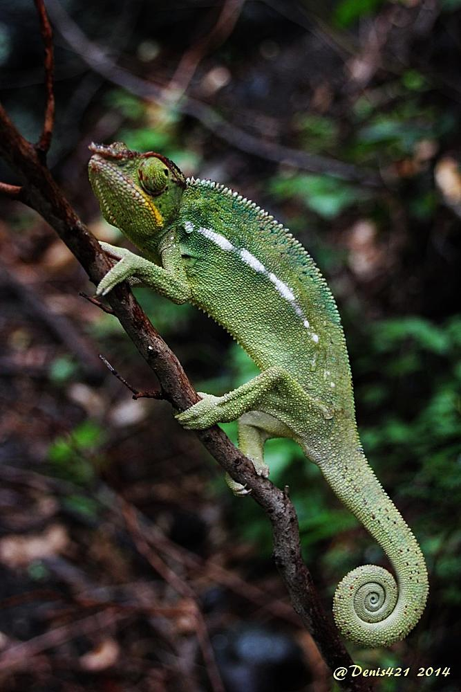 Photo in Animal #chameleon #reptile #animal #reunion #island #denis payet