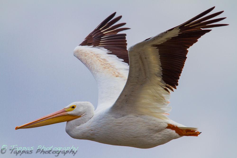 Photo in Random #great white pelican #bif #lake livingston #texas