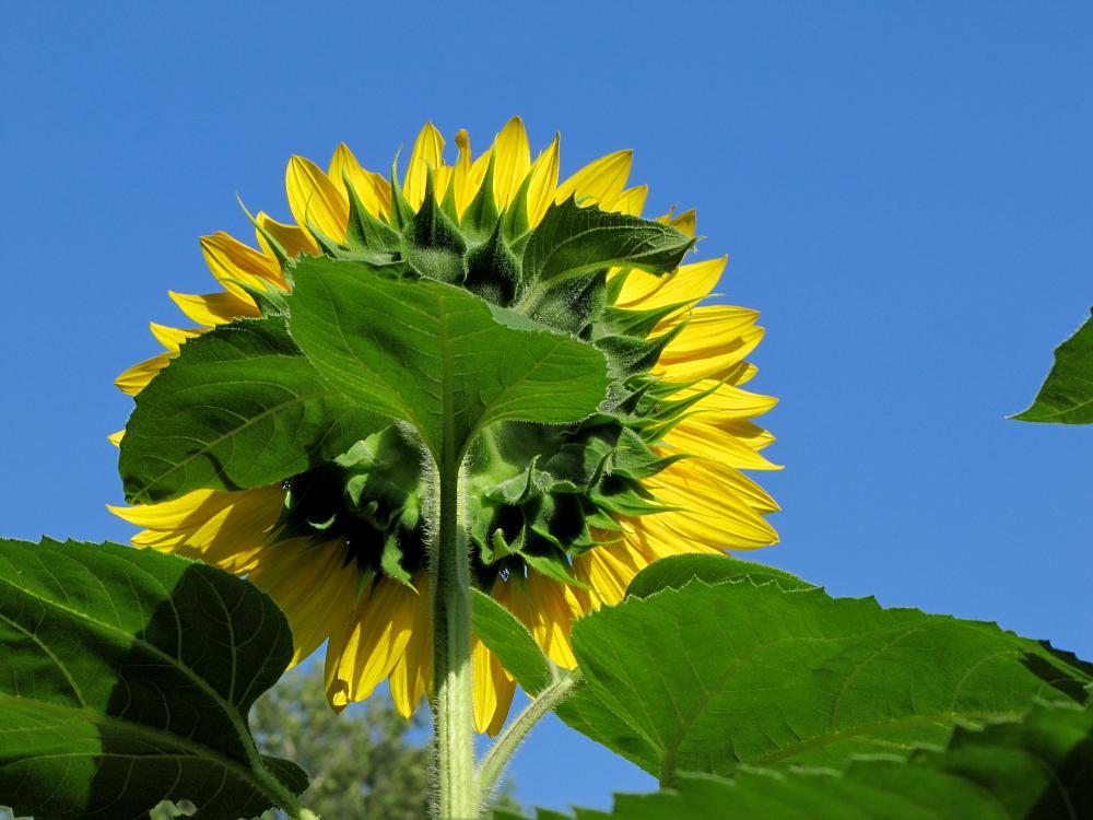 Photo in Random #sunflower #arboretum #reading #wyomissing
