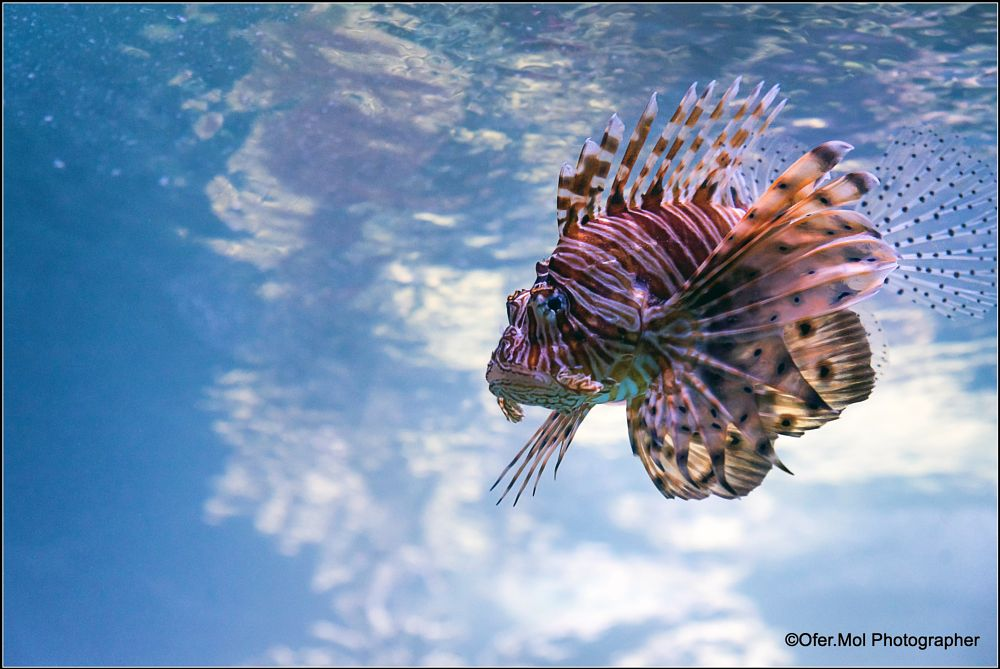 Photo in Nature #nuture #under the sea #israel #pterois #red #sea