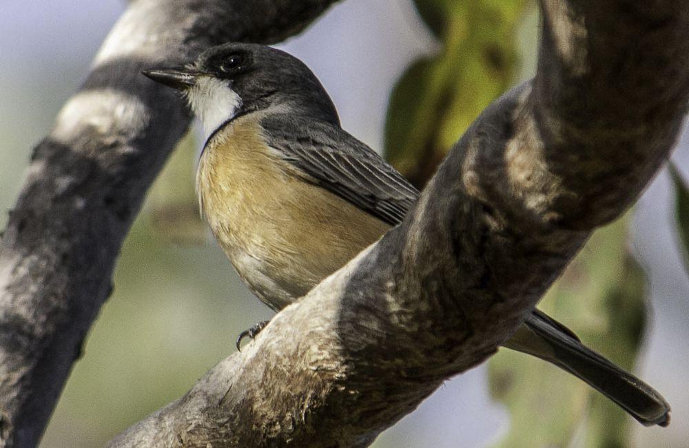 Photo in Animal #bird #whistler #rusous whistler