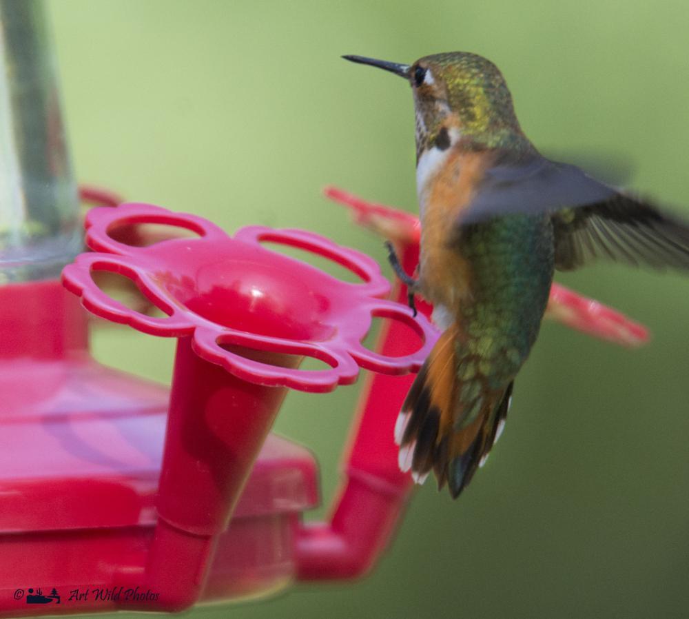 Photo in Animal #female rufus hummingbird #with  my tamron #artwildphotos #hummingbird #rufus #migrating
