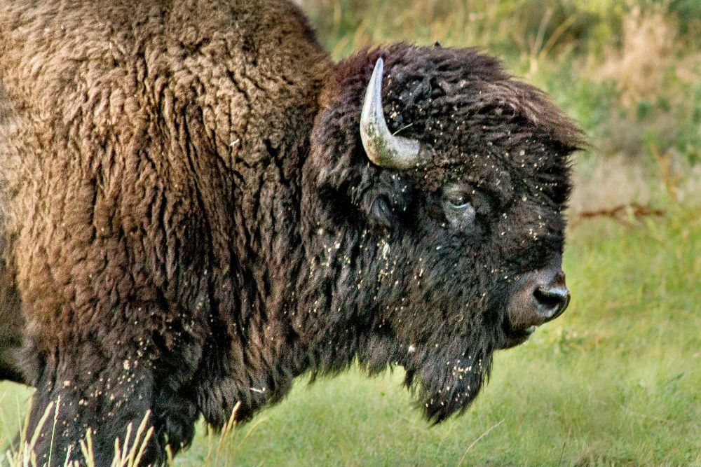 Photo in Animal #buffalo #animal #nature #wildlife