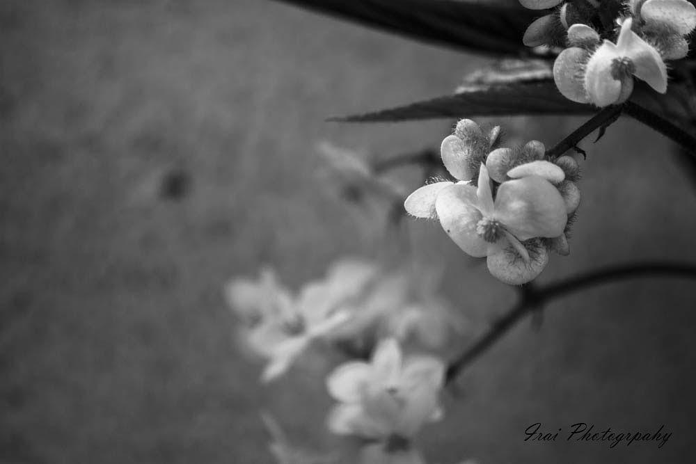 Photo in Black and White #flower #garden #summer