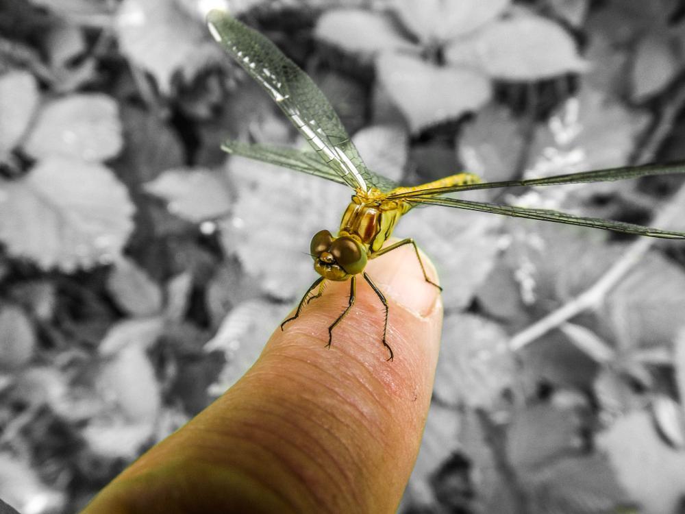 Photo in Macro #dragonfly #posingforpic #notafraidofhumans