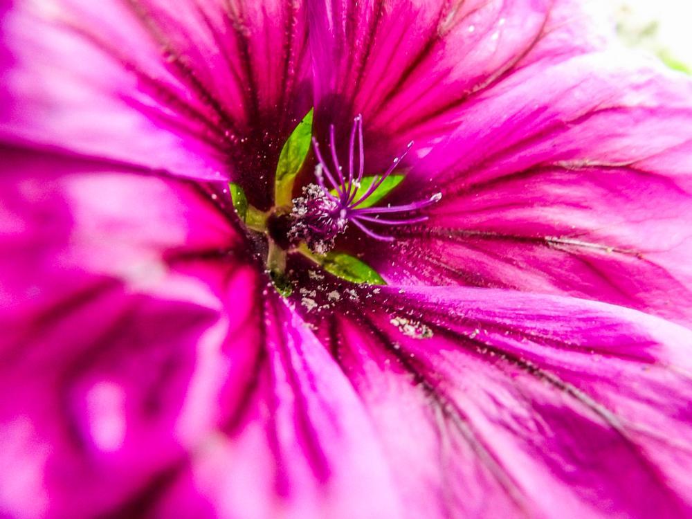 Photo in Macro #mallow #flowerpollen #colourfulflower