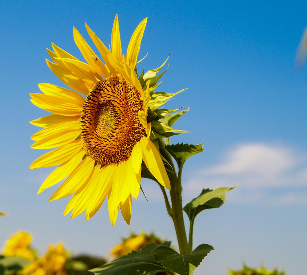 Photo in Nature #sunflower #yellow #sunny #sony a58 #sigma 17-70