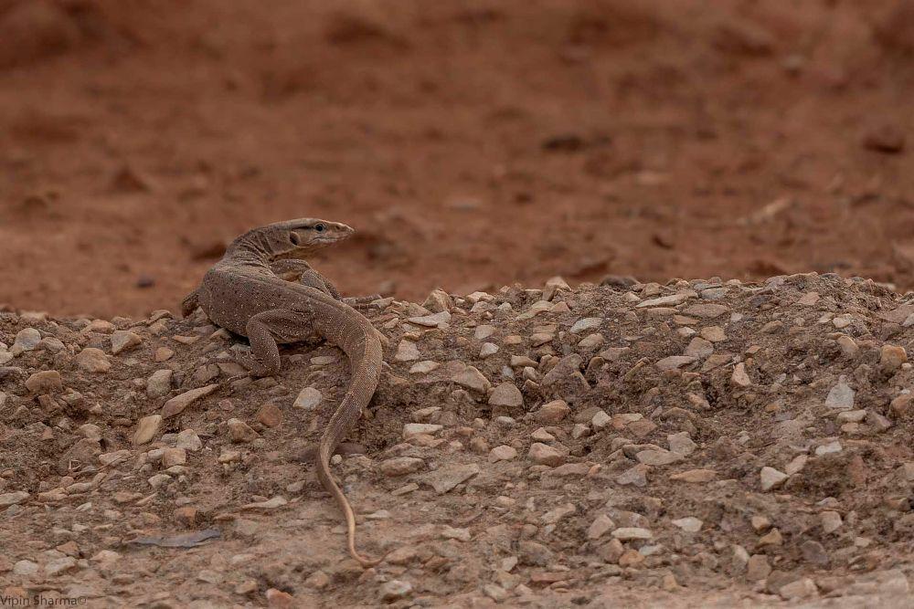 Photo in Animal #vipin #vipinsharma #monitor lizard #rtr