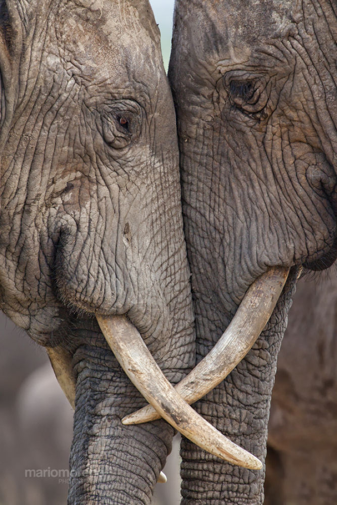 Photo in Animal #ypa2013 #wildlife #nature #elephant #interaction #close #addo #national #park #south #africa #african #images #cape #eastern #portrait #mario moreno