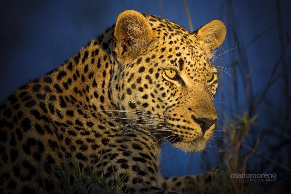 Photo in Animal #ypa2013 #leopard #portrait #feline #cat #big #five #wildlife #nature #africa #south #african #predator #spotted #kruger #greater #motswari #timbavati #safari #photo #mario moreno
